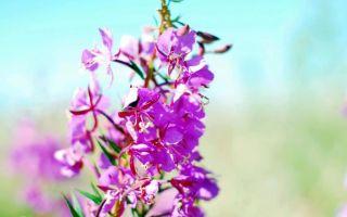 Влияние травы Иван-чай на артериальное давление