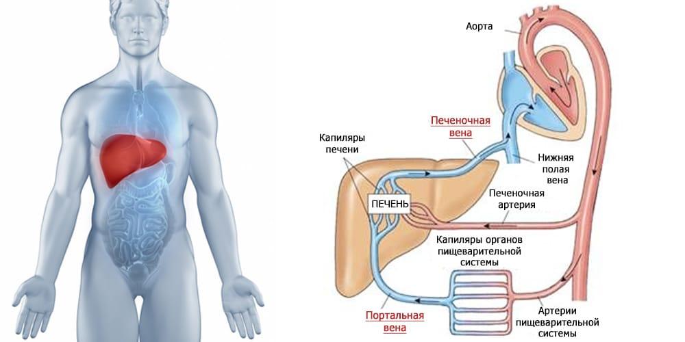 Строение внутренних органов