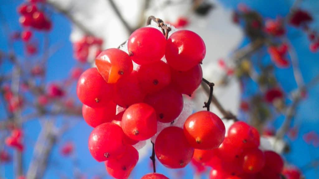Калина с медом — полезные свойства, рецепты от давления, кашля, мастопатии