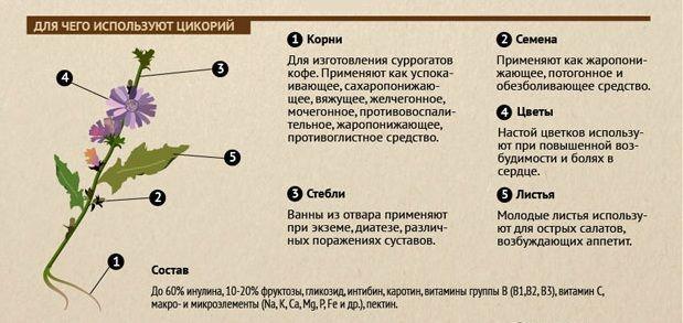 Как собирать цикорий