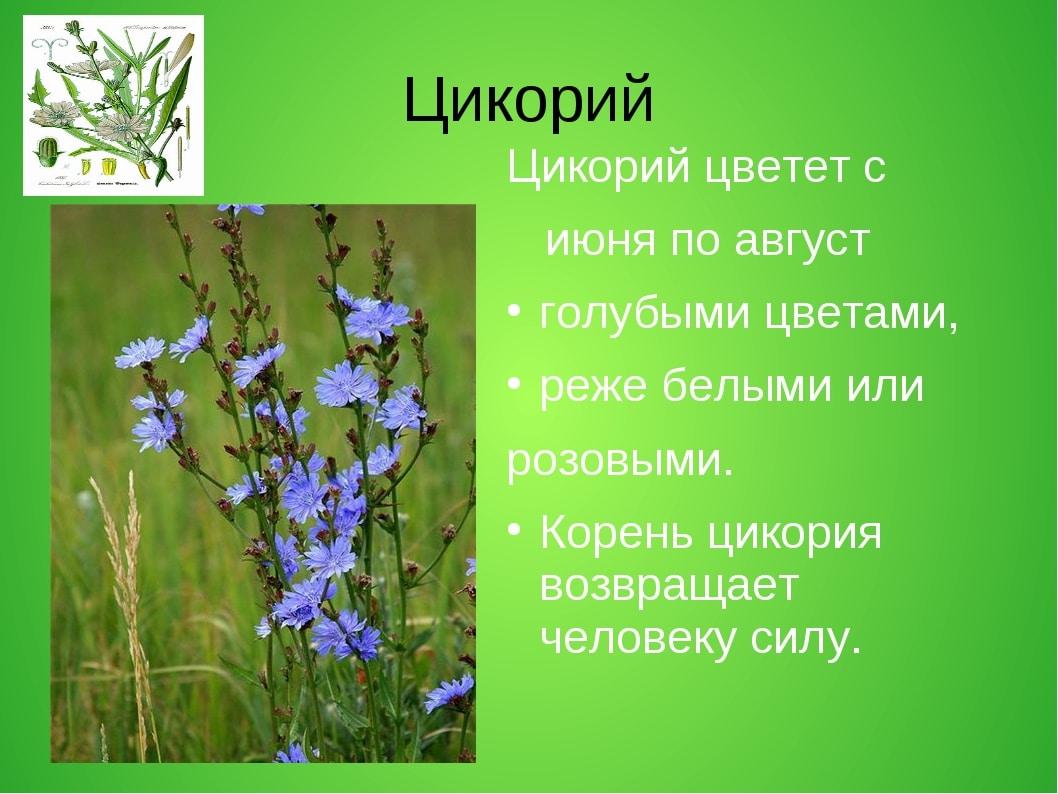 Цветение цикория