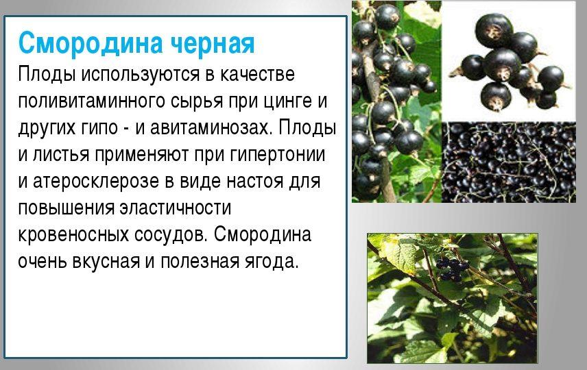 Применение черной смородины