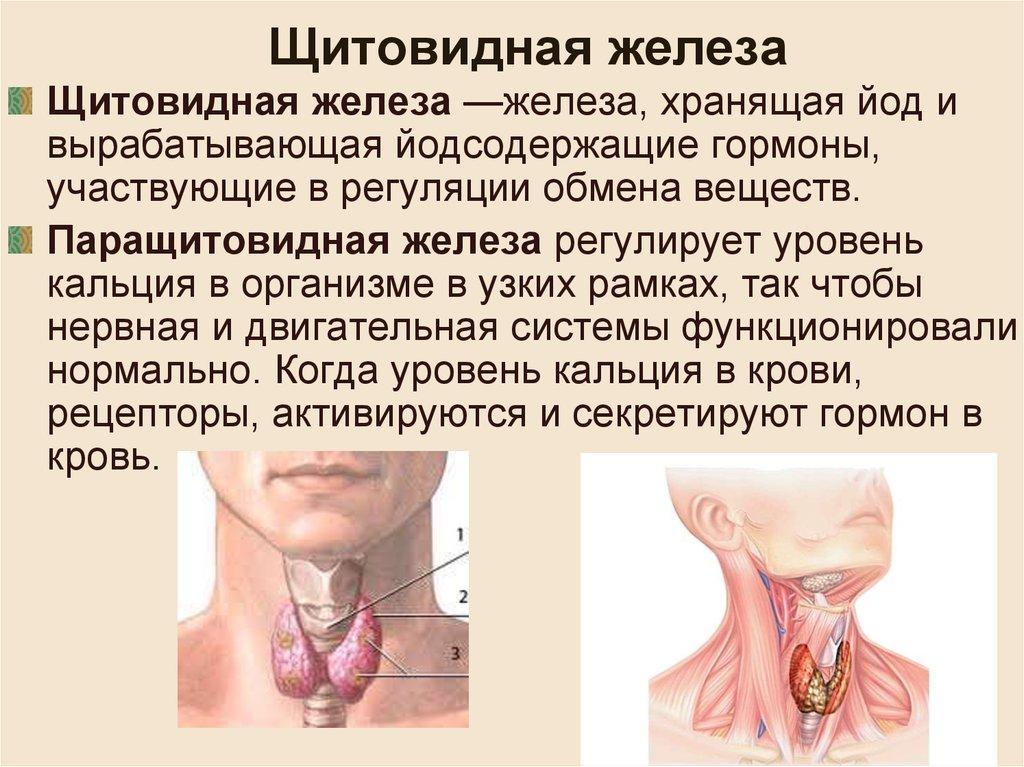 Что такое щитовидка